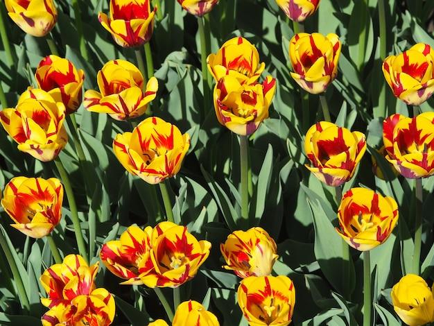 Schöne faszinierende tulipa sprengeri blühende pflanzen in der mitte des feldes