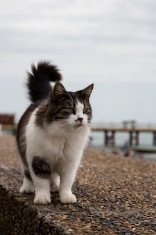 Schöne flauschige grau-weiße katze, die an einem sommertag auf der straße geht. die katze geht die böschung entlang, hebt ihren schwanz und schaut in die kamera.