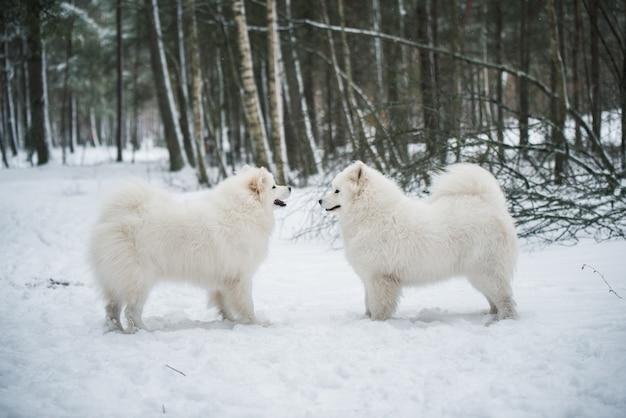 Schöne flauschige zwei samojeden weiße hunde ist im winterwald, carnikova in der ostsee