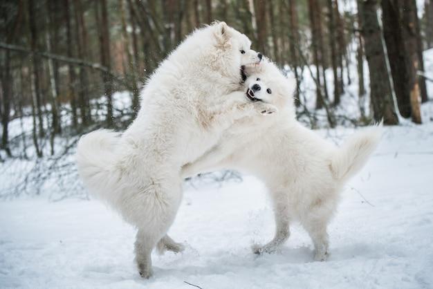 Schöne flauschige zwei samojeden weiße hunde spielen im winterwald, carnikova in der ostsee