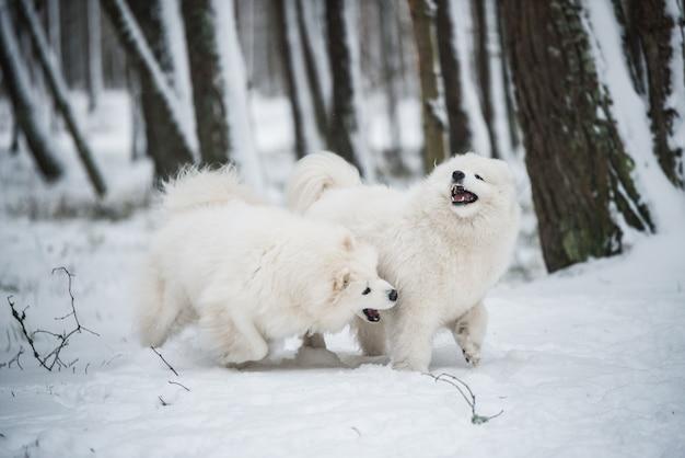Schöne flauschige zwei samojeden weiße hunde spielen im winterwald