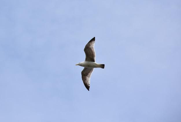 Schöne fliegende möwe mit weit ausgebreiteten flügeln im flug