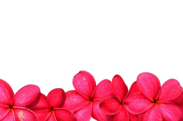 Schöne frangipani-blüten