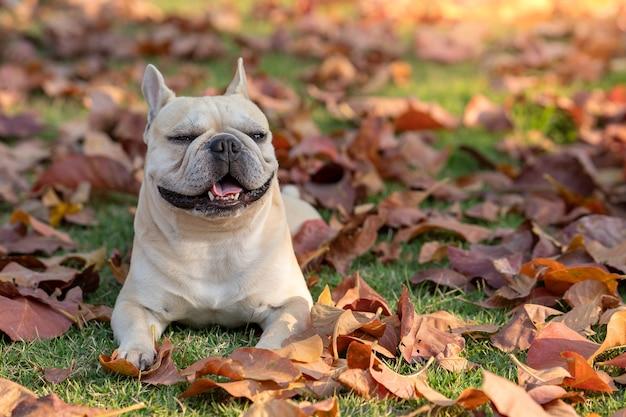 Schöne französische bulldogge am herbstlaub im garten.