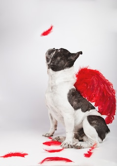 Schöne französische bulldogge, die im profil auf kamera sitzt und beobachtet, wie eine feder auf weißem hintergrund mit purpurroten federflügeln auf dem rücken und federn auf dem boden fällt.