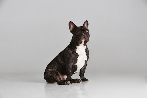 Schöne französische schwarzweiss-bulldogge