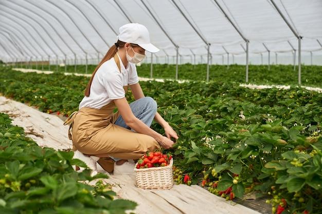 Schöne frau, die reife erdbeeren im gewächshaus pflückt