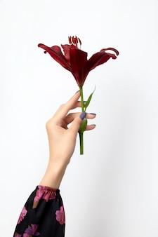 Schöne frauenhand mit maniküre, die burgunderlilienblume hält.