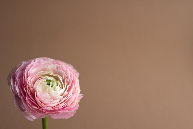 Schöne frisch blühende einzelne lachsfarbene ranunkelblüte auf dem braun