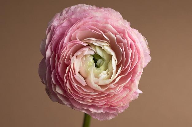 Schöne frische blühende einzelne lachsfarbene ranunkelblume auf der braunen nahaufnahmemakroseitenansicht