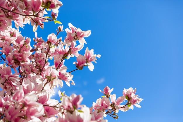 Schöne frische frühlingsmagnolienblumen auf blauem himmelhintergrund (selektiver fokus)