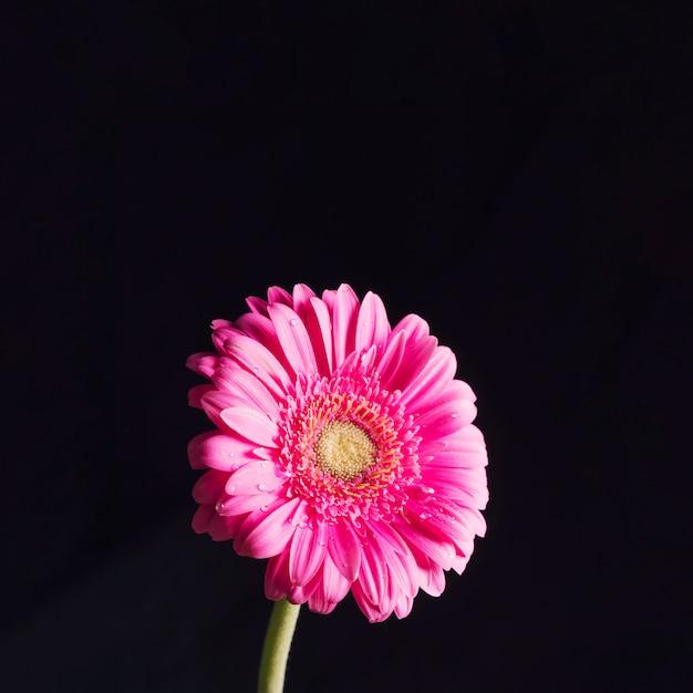 Schöne frische helle rosafarbene blüte im tau