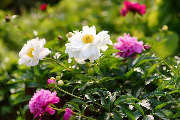 Schöne frische pfingstrosen der rosa und weißen blumen im garten.
