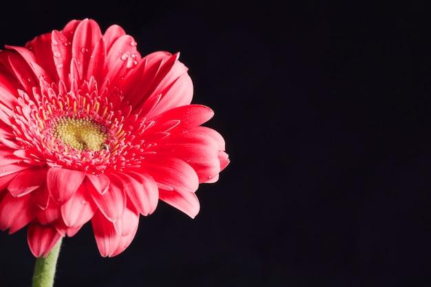 Schöne frische rosa blume im tau