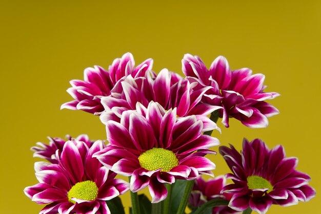 Schöne frische rosa chrysantheme, nahaufnahme, rosa gänseblümchenblumen