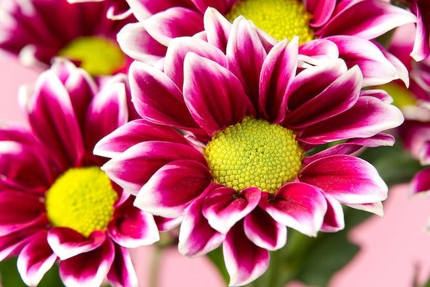 Schöne frische rosa chrysantheme, nahaufnahme, rosa und gelbe gänseblümchenblumen.