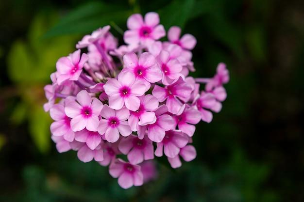 Schöne frische rosa königliche hortensieblume der nahaufnahme