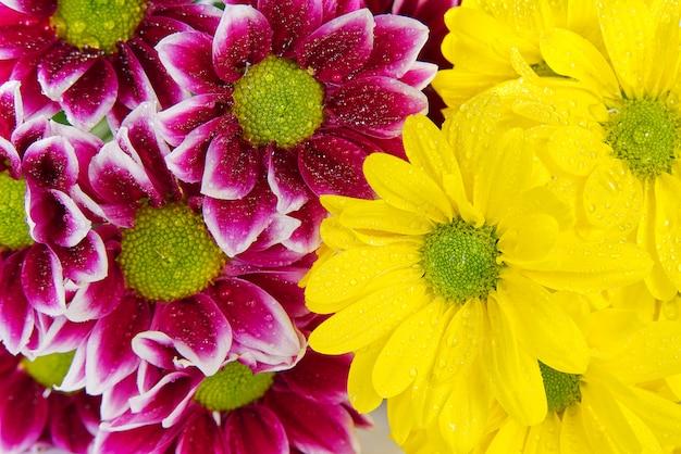 Schöne frische rosa und gelbe chrysantheme, nahaufnahme, rosa und gelbe gänseblümchenblumen. nahansicht.