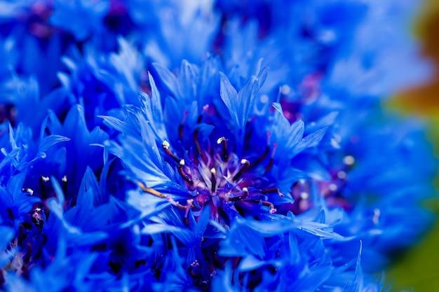 Schöne frühlingsblumen blue centaurea cyanus im hintergrund. blaues blumenmuster. makrofoto.