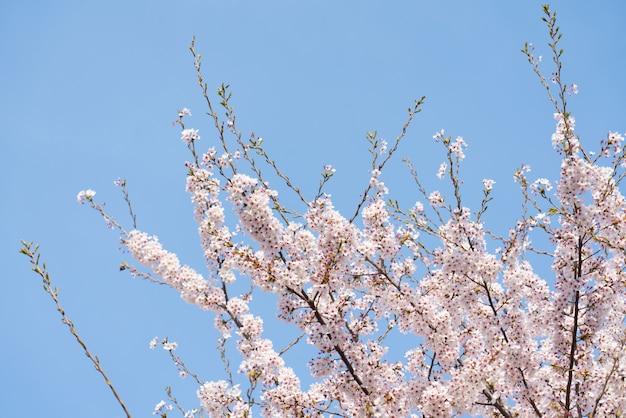 Schöne frühlingsblumen-kirschblüten