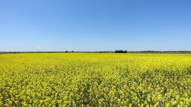 Schöne frühlingslandschaft mit einem leuchtend gelben feld von canola-blumen