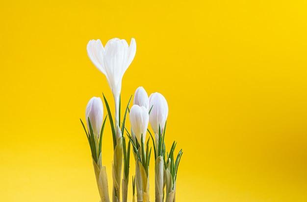 Schöne frühlingsweiße krokusblüten auf gelbem hintergrund
