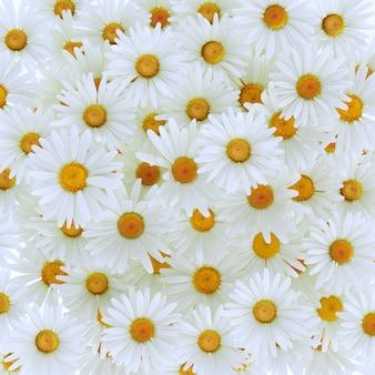 Schöne gänseblümchen-gerbera-blume lokalisiert auf weißem hintergrund