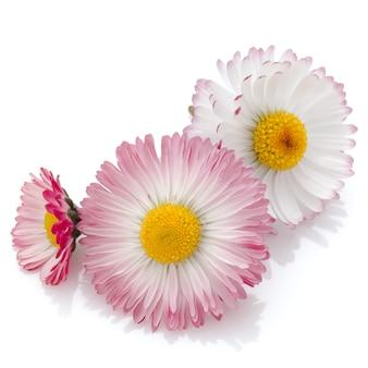 Schöne gänseblümchenblumen lokalisiert auf weißem ausschnitt
