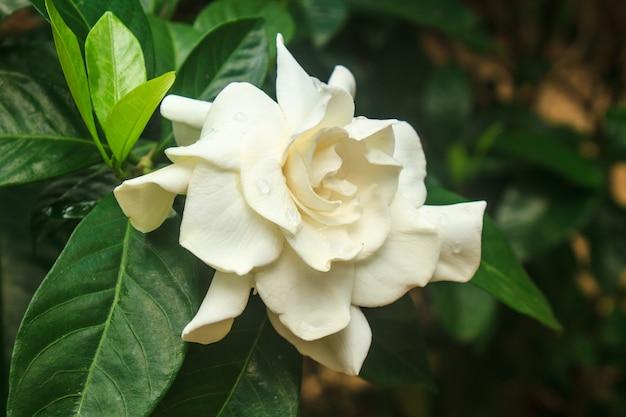 Schöne gardenia jasminoides blume auf baum