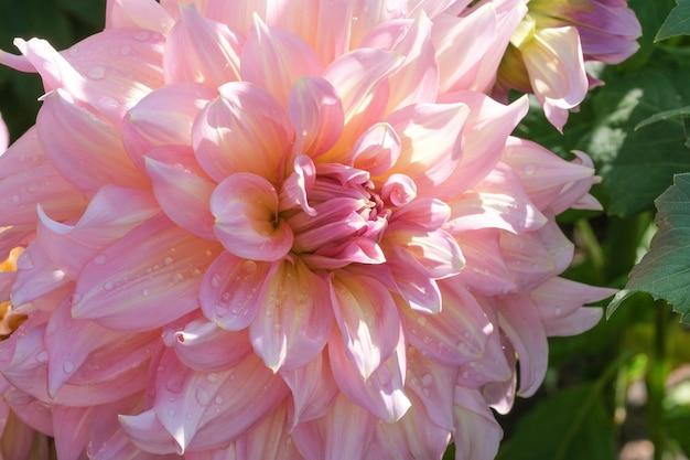 Schöne garten-dahlienblumen-nahaufnahme an einem sonnigen herbsttag-makrofotografie