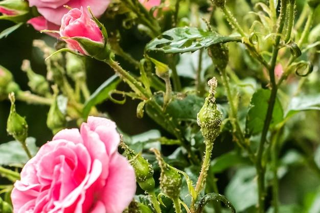Schöne garten dekorative rose, von einem schädling befallen. blattlausparasit zerstört eine blume. gartenarbeit. sommer. hausaufgaben