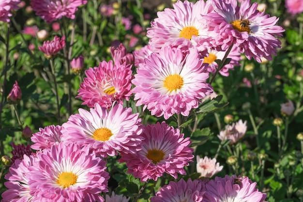 Schöne gartenblüte-chrysanthemenblumen-nahaufnahme auf einem sonnigen herbsttag-makrofotografie