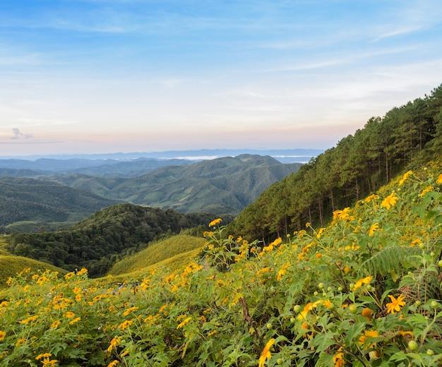 Schöne gebirgssonnenaufgang-naturszene mit wildem mexikanischem sonnenblumental in meahongson, thailand.