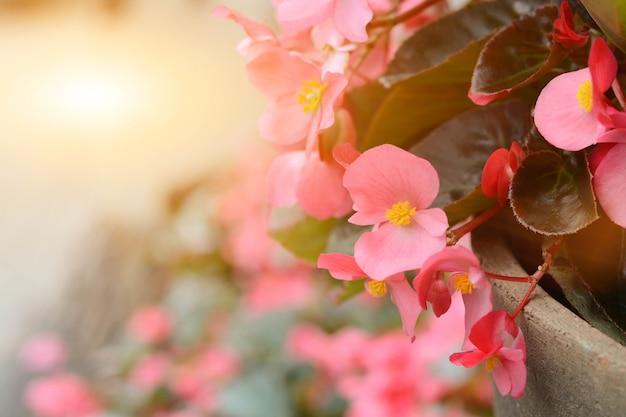 Schöne gegonia blüht morgens im garten.