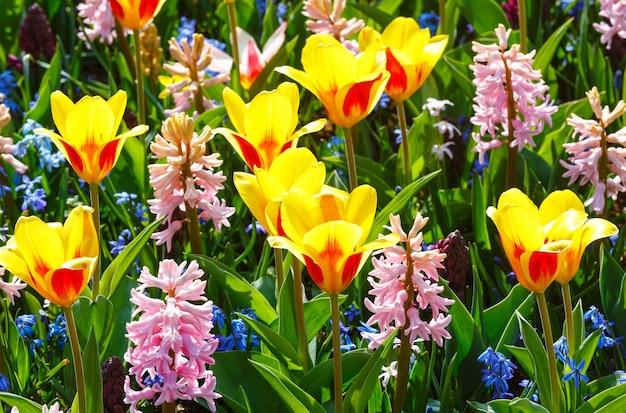Schöne gelb-rote tulpen und rosa hyazinthen nahaufnahme