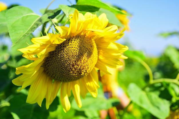 Schöne gelbe blume der sonnenblume. große sonnenblume hautnah. sommer naturschönheit. schönheitsgartenarbeit.
