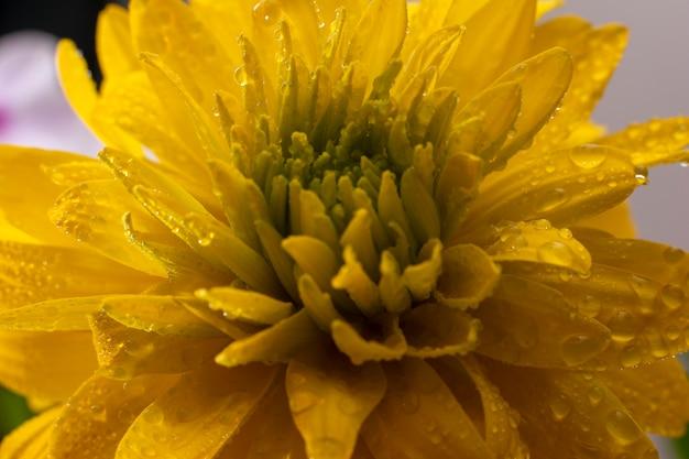 Schöne gelbe blume. nahaufnahme von rudbekia mit wassertropfen
