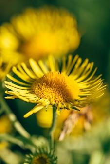 Schöne gelbe blumen auf unscharfem hintergrund. selektiver fokus.