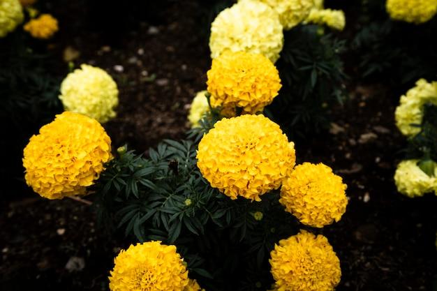 Schöne gelbe blumen der draufsicht