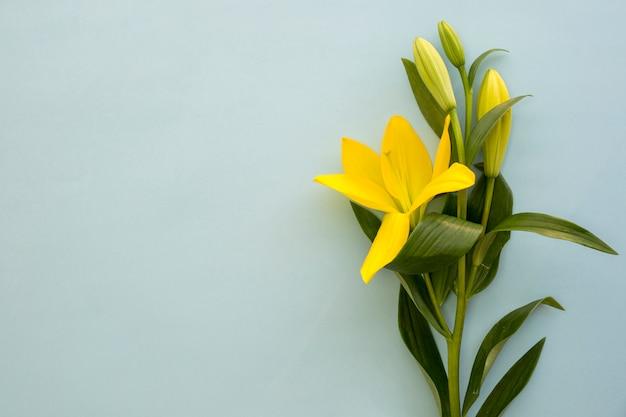 Schöne gelbe lilie blüht über blauem hintergrund