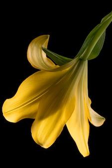 Schöne gelbe lilienblume