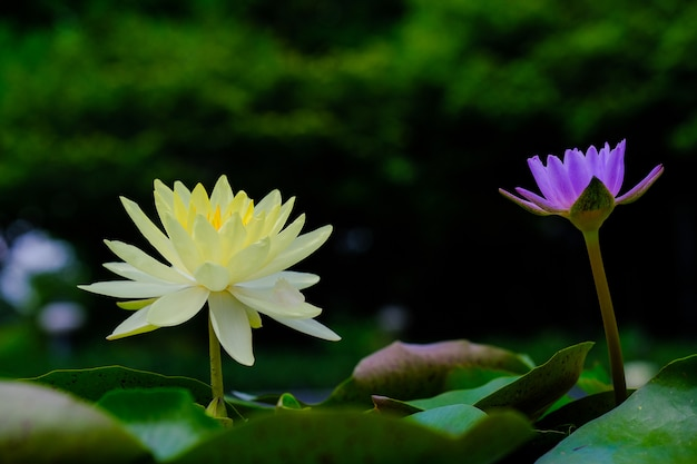 Schöne gelbe lotusblume mit grünen blättern im teich
