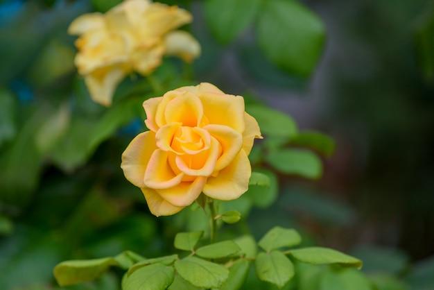 Schöne gelbe rosenblume in einem garten. sie bringen dich und die freundschaft, die du mit dem puristen der farbe teilst