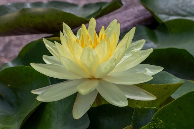 Schöne gelbe seerose oder lotusblume. auch mit namen indian lotus, sacred lotus, bean of india oder einfach lotus.