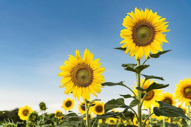 Schöne gelbe sonnenblume im feld gegen den blauen himmel mit weißen wolken