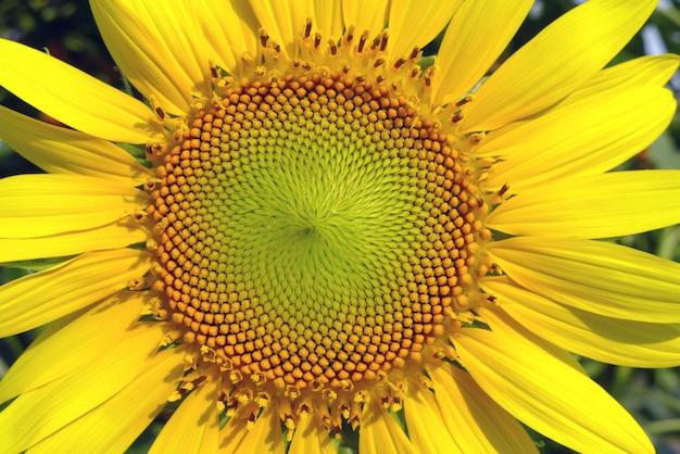 Schöne gelbe sonnenblume
