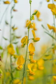 Schöne gelbe sonnenhanfblume im naturhintergrund crotalaria juncea