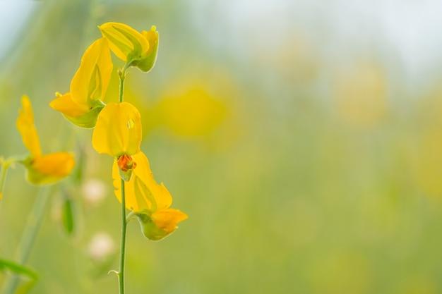 Schöne gelbe sonnenhanfblume im naturhintergrund. crotalaria juncea