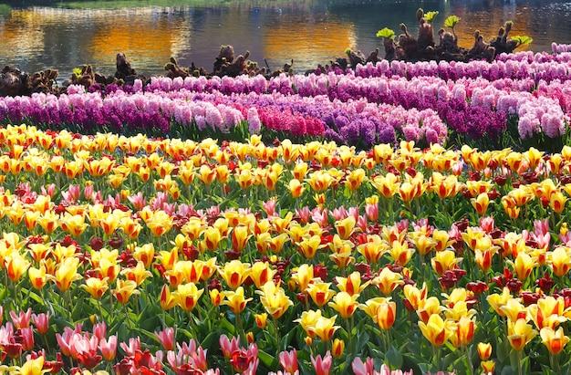 Schöne gelbe tulpen und rosa hyazinthen nahe teich