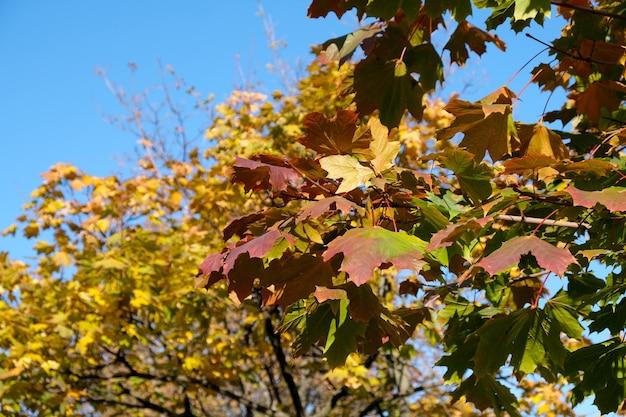 Schöne gelbe und rote blätter an einem baum gegen den blauen himmel an einem warmen sonnigen herbsttag